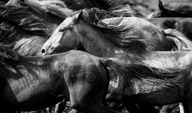 A herd of young horses. Running very quickly Stock Photos