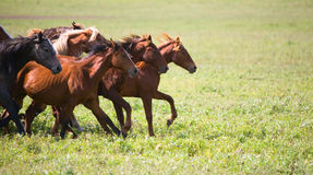 A herd of young horses Royalty Free Stock Photos