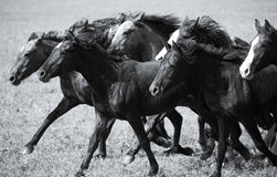 A herd of young horses Royalty Free Stock Photography