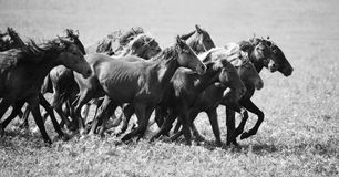 A herd of young horses Royalty Free Stock Images