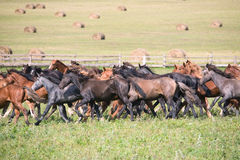 A herd of young horses Stock Photos