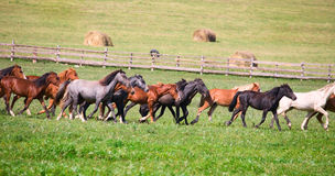 A herd of young horses Royalty Free Stock Image