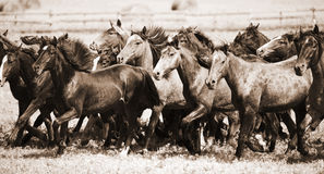 A herd of young horses Royalty Free Stock Photo