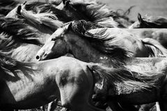 A herd of young horses. Running very quickly Royalty Free Stock Photography