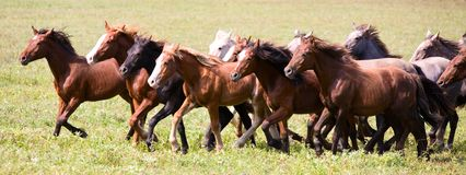 A herd of young horses. Running very quickly stock photography