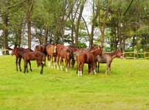 Herd of young horses Royalty Free Stock Photography