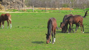 Herd of Young Horses Graze on the Farm Ranch, Animals on Summer Pasture, Stable Handheld full HD footage stock footage
