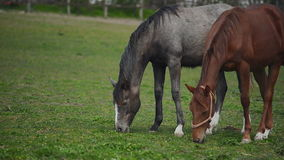 Herd of Young Horses Graze on the Farm Ranch, Animals on Summer Pasture stock video footage