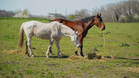 Herd of Young Horses Graze on the Farm Ranch, Animals on Summer Pasture stock video