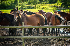 Herd of young horses at summertime Stock Photos