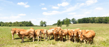 Herd of young Limousin beef cattle in a panorama banner Stock Image