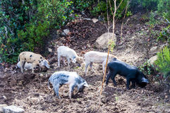 Herd young piglet on hay and straw at sardegna italy sardinia. Herd of young piglet on hay and straw at sardegna italy sardinia royalty free stock photos
