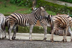 Herd of Zebra Stock Image