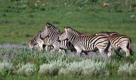 Herd of Zebra Royalty Free Stock Photo