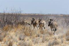 Herd of Zebra in african bush Royalty Free Stock Images