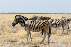 Herd of Zebra in african bush Royalty Free Stock Image
