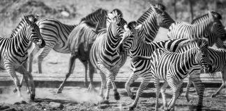 Herd of Zebra Royalty Free Stock Image