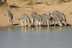 Herd of Zebra drinking, South Africa. Herd of Burchells Zebra drinking (Equus burchelli) from a natural pan in Kruger Park, South Africa Royalty Free Stock Photos