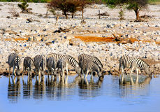 A herd of zebra drinking from a waterhole with a reflection Stock Images