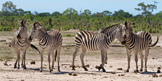 A Herd of Zebra on the dusty plains in Etosha National Park Royalty Free Stock Images