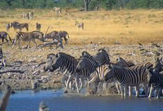 Herd of zebra enter a water hole Royalty Free Stock Photography