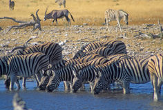 Herd of zebra enter a water hole Royalty Free Stock Photos