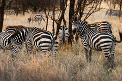 Herd of zebra Stock Photo