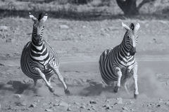 Herd of zebra fleeing from danger at dusty waterhole artistic co Stock Images