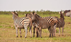 Herd of zebra on a grass plain Stock Images