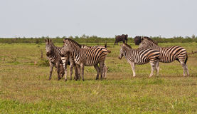Herd of zebra on a grass plain Royalty Free Stock Photo