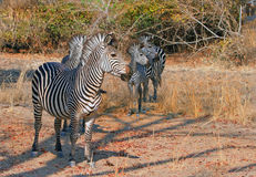 Herd of Zebra looking alert while standing in the bush, south luangwa national park, zambia Stock Images