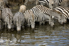 Herd of zebra at Masai mara Kenya Royalty Free Stock Photography