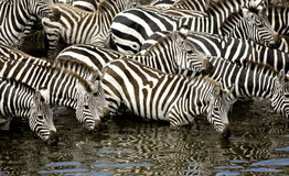 Herd of zebra at Masai mara Kenya Stock Image