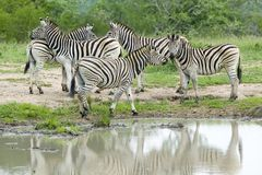 Herd of Zebra reflected at watering pond in Umfolozi Game Reserve, South Africa, established in 1897 Royalty Free Stock Images