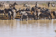 Herd of zebra by river Stock Photo