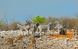 Herd of zebra on a rocky terrain in etosha national park. Zebras at play with springbok in the foreground Royalty Free Stock Images