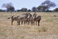 Herd of zebra's Royalty Free Stock Images