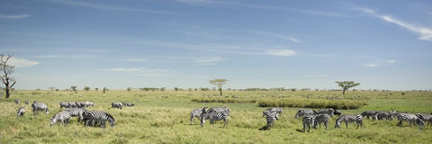 Herd of zebra in the Serengeti Stock Image