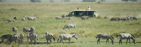 Herd of zebra in the Serengeti Royalty Free Stock Photo