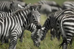 Herd of zebra in the Serengeti Royalty Free Stock Photos