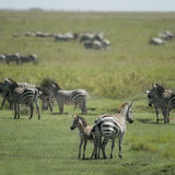Herd of zebra in the Serengeti Stock Images