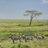 Herd of zebra in the Serengeti Royalty Free Stock Photo