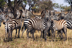 Herd of zebra. In the Serengeti national park, Tanzania, Africa Stock Photography