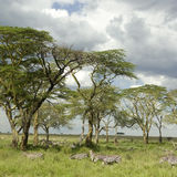 Herd of zebra in the serengeti plain Stock Photography
