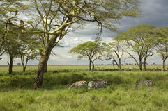 Herd of zebra in the serengeti plain Royalty Free Stock Images