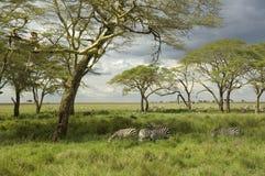 Herd of zebra in the serengeti plain Royalty Free Stock Images