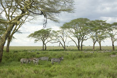 Herd of zebra in the serengeti plain Stock Images
