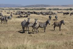 Herd of zebra with some looking in Serengeti royalty free stock images