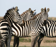 Herd of zebra Stock Images