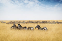 Herd of zebra in tall grass of Kenya Africa Royalty Free Stock Photography